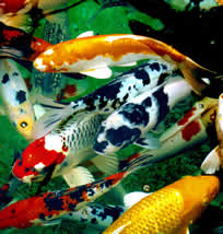 Koi for Koi fish farm near me